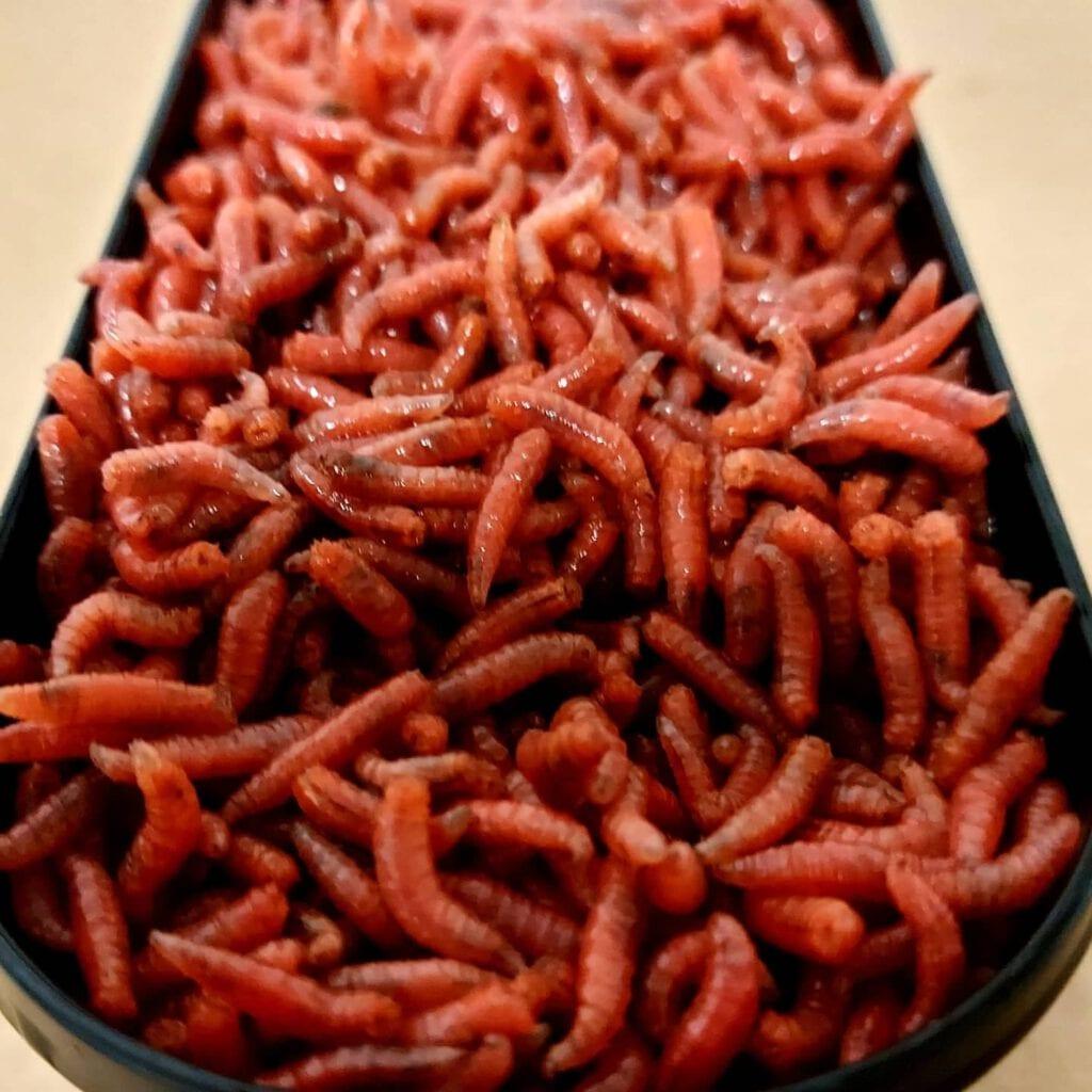 Dead Maggots